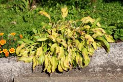 Plantain lily or Hosta foliage plant with partially shriveled and dried ribbed leaves growing in form of small bush next to