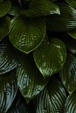 Plantain lily  hosta vertical green wet leaves in dark contrast background. Close up Stock Photo