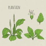 Plantain medical botanical isolated illustration. Plant, leaves, flowers hand drawn set. Vintage sketch colorful. Plantain medical botanical isolated Royalty Free Stock Image