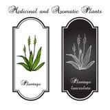 Plantain. Medicine tea Plantain. Vector illustration Stock Photos