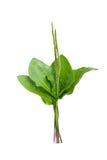 Plantain plant. On white background stock image