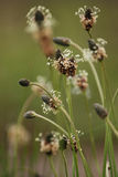 Plantain Plantago lanceolata. Is a common weed growing in abundance in grassy areas Royalty Free Stock Images