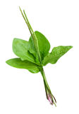 Plantain plants isolated Stock Image