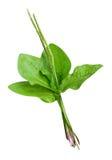 Plantain plants isolated. On white background stock image