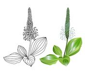 Plantain plants  on white background. Vector illustration Stock Image