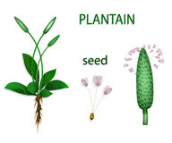 Plantain, psyllium. Illustration of plantain, psyllium. Botanical picture. The text on the separate layer Stock Image