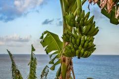 Plantain sea Royalty Free Stock Image