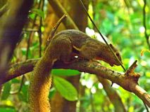 Plantain squirrel on tree branch. A plantain squirrel on a tree in Bukit Batok nature park, Singapore (18 April 2015 Royalty Free Stock Image