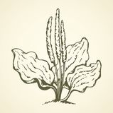 Plantain. Vector drawing. Greater broadleaf plantago major plantain weed on light backdrop. Freehand line black ink hand drawn picture emblem pictogram in retro Stock Photo