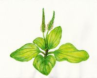 Plantain. Watercolor plantain on white background Stock Photography