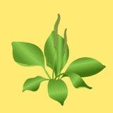 Plantain. On yellow background Stock Photo