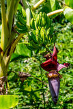 Plantains or cooking bananas growing on a tree. Stock Images
