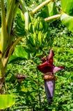 Plantains ou bananes de cuisson s'élevant sur un arbre images libres de droits