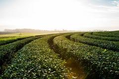 Plantaion del tè di fila alla luce di mattina Fotografie Stock