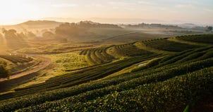 Plantaion del tè di fila nella mattina Immagini Stock Libere da Diritti