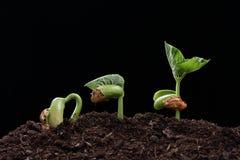 Plantan av bönan kärnar ur i jord Arkivbild