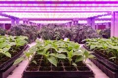 Plantan växer med lett växtljus i lantgårdväxthus royaltyfri foto
