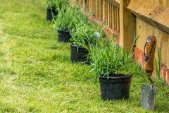 Plantando a alfazema Imagem de Stock Royalty Free