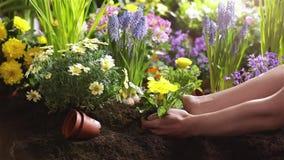 Plantando as flores, jardinando As mãos fêmeas fecham-se acima filme