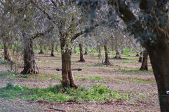 Plantando a azeitona Foto de Stock Royalty Free