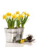 Plantando bulbos Imagens de Stock