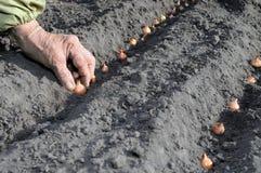 Plantando a cebola imagem de stock royalty free