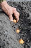 Plantando a cebola imagens de stock royalty free