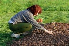 Plantando a cebola Foto de Stock Royalty Free