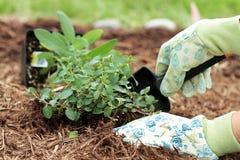 Plantando ervas fotografia de stock royalty free