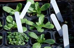 Plantando ervas Foto de Stock Royalty Free