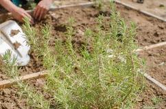 Plantando ervas no jardim Foto de Stock