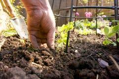 Plantando a ervilha doce 2 Imagem de Stock Royalty Free