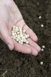 Plantando ervilhas Fotos de Stock Royalty Free