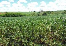 Plantando feijões de soja Imagens de Stock Royalty Free