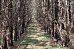 Plantando a fileira da plantação do pinho de Loblolly (taeda do pinus) Imagem de Stock