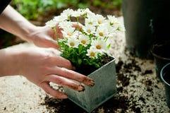 Plantando a flor foto de stock