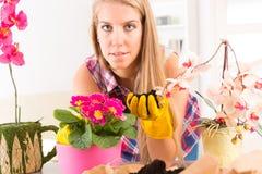 Plantando a flor do colorfull em um vaso de flores foto de stock