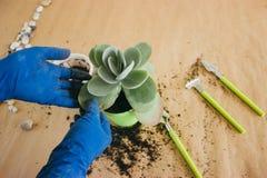 Plantando a flor em um potenciômetro verde fotos de stock