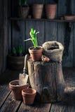 Plantando flores da mola e ferramentas de jardinagem velhas Fotografia de Stock Royalty Free