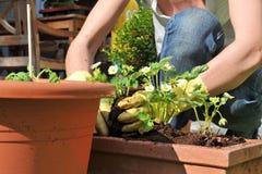 Plantando flores no jardim imagem de stock