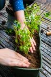 Plantando a manjericão Imagem de Stock