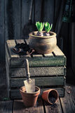Plantando a mola floresce em uma oficina de madeira velha Fotos de Stock Royalty Free