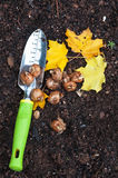 Plantando o açafrão Imagem de Stock