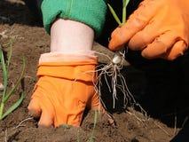 Plantando o alho Fotos de Stock Royalty Free
