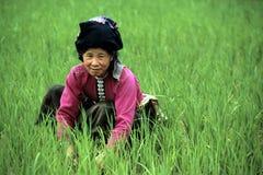 Plantando o arroz. Imagens de Stock Royalty Free
