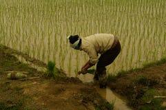 Plantando o arroz Fotografia de Stock Royalty Free