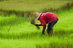 Plantando o arroz Foto de Stock