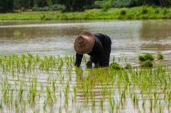 Plantando o arroz Imagem de Stock