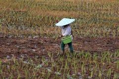 Plantando o arroz Fotografia de Stock