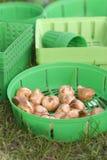 Plantando o bulbo Imagens de Stock Royalty Free